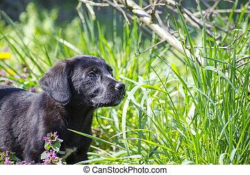 valp, blanda, ras, fält, svart, blomningen