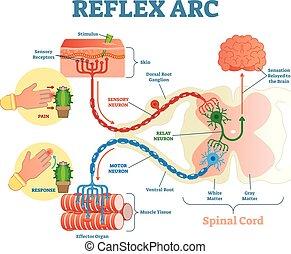 vektor, binda med rep, vidarebefordra, illustration, stimulans, reflex, neuron, neuron, anatomisk, sensorisk, ryggrads, båge, motor, tissue., muskel, intrig, gångstig