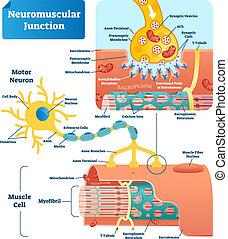 vektor, förening, neuromuscular, illustration, cell, märkt, infographic, scheme.