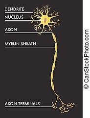vektor, intrig, neuron