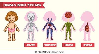 vetenskaplig, läkar illustration, system, mänsklig, flicka