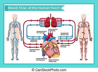 vetenskaplig, medicinsk, flöde, illustration, blod, mänsklig