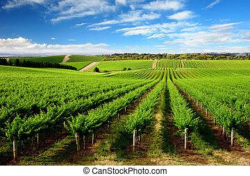 vingård, träd, kulle, en