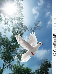 vit, flygning, duva