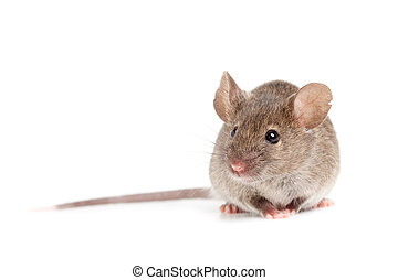 vit, mus, grå, isolerat